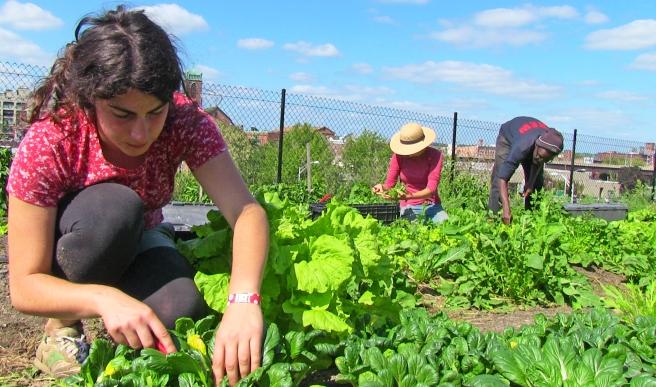 Staff_harvesting_at_urban_farm.jpg